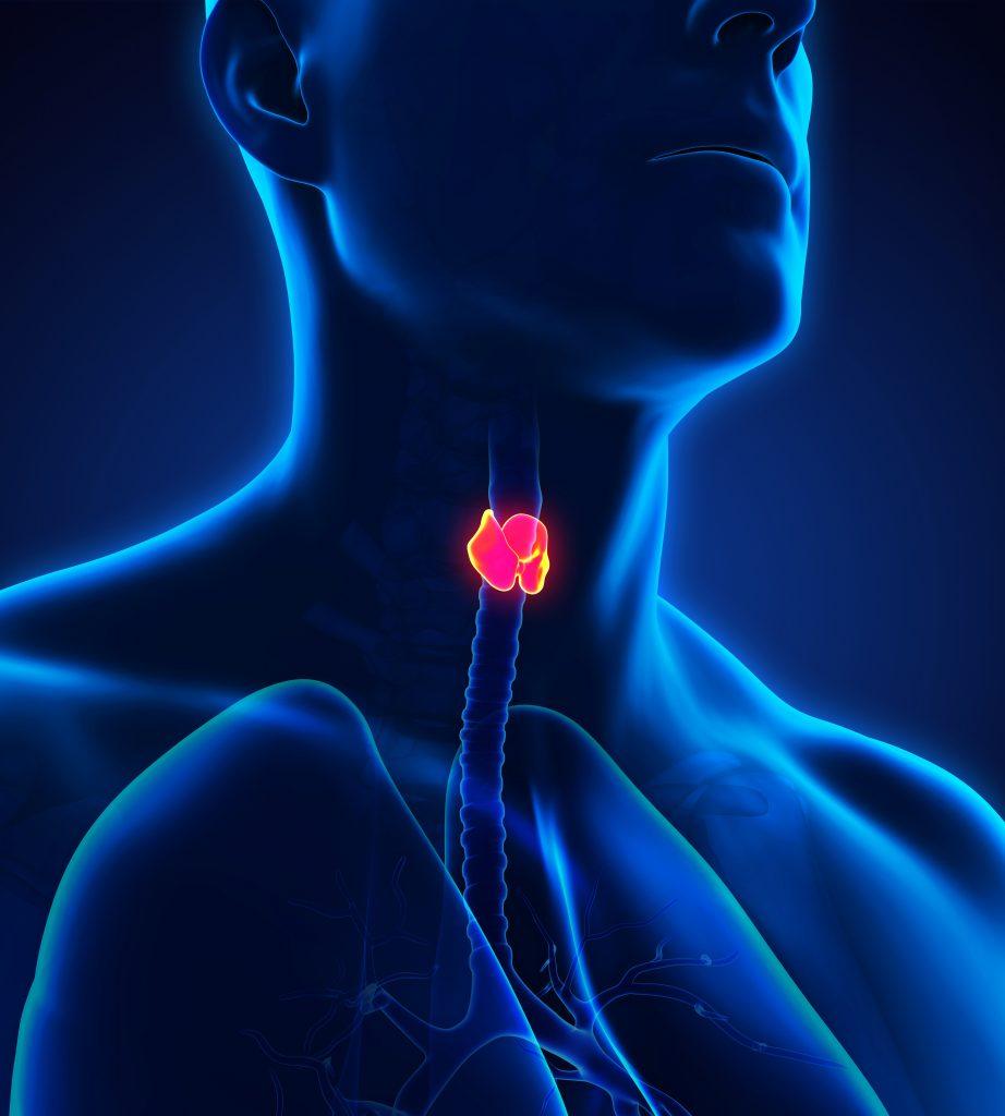 Human Thyroid Gland Anatomy